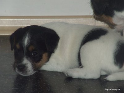 parson russell terrier - Berlingo zo Saratova 1. month old.